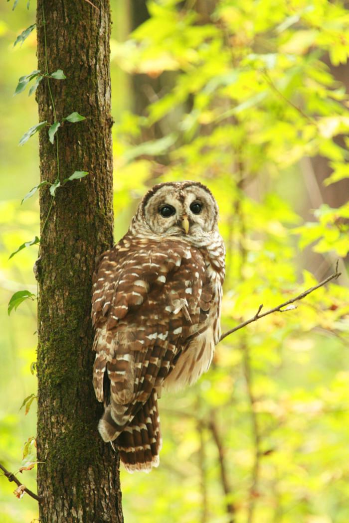 2. Barred Owl