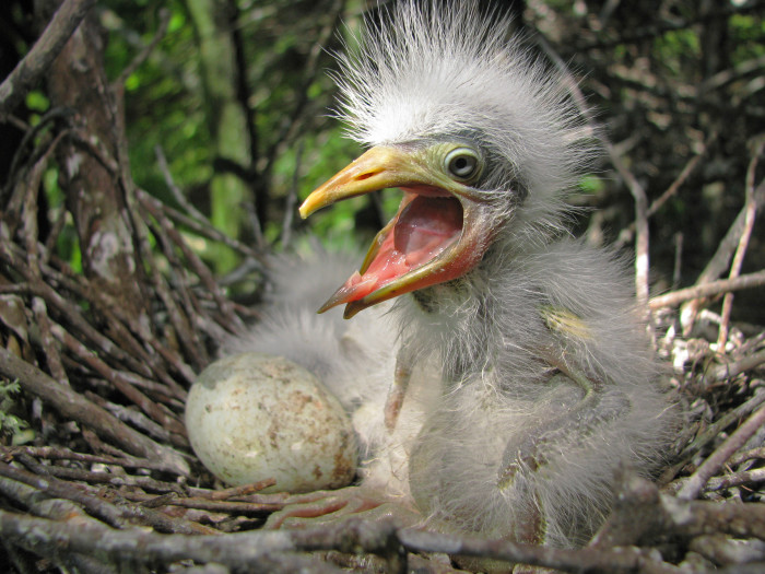 3. Cattle Egret