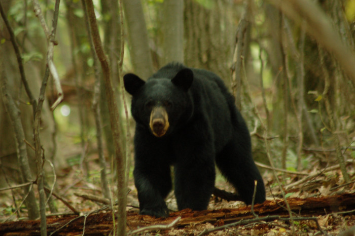 11. Black Bear on Loft Mountain, Shenandoah National Park