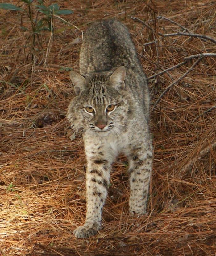 5. Bobcat