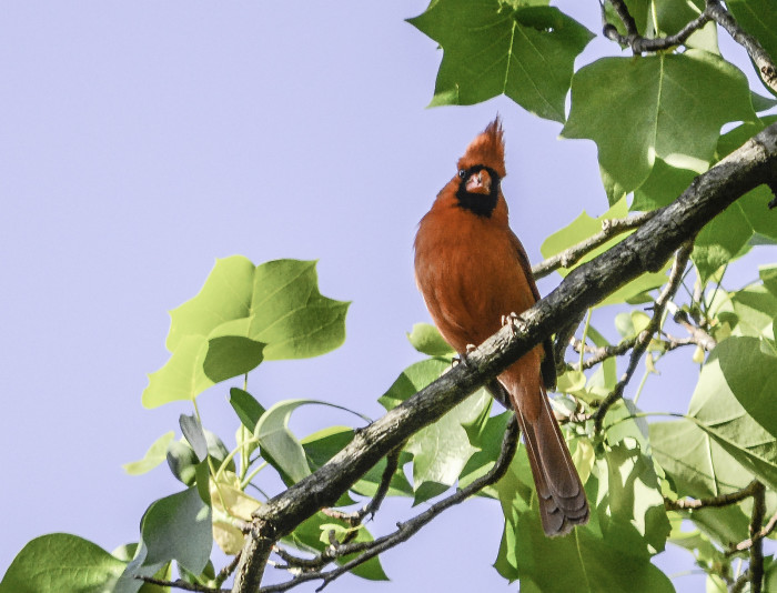 12. Spring Cardinal…truly the bird for all seasons