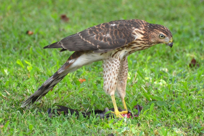 13. A Cooper's Hawk With His Lunch