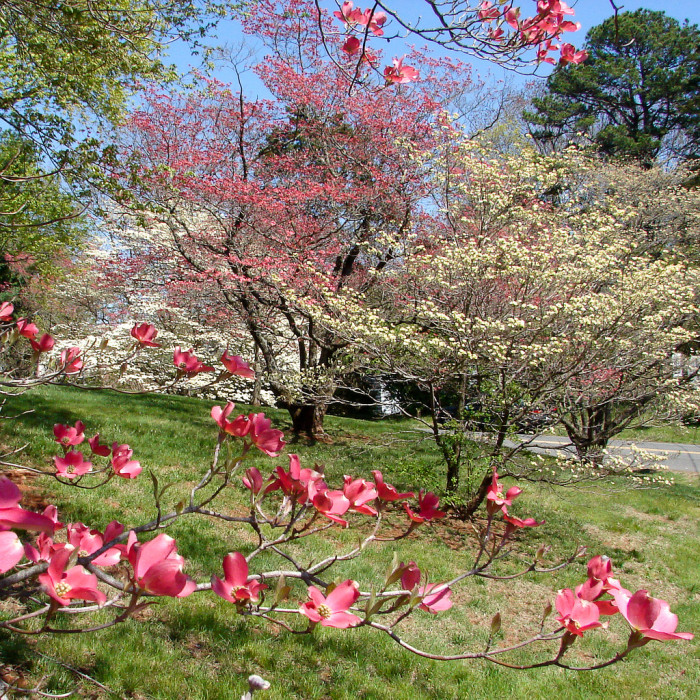 13. Dogwoods and Redbuds in Greenbrier