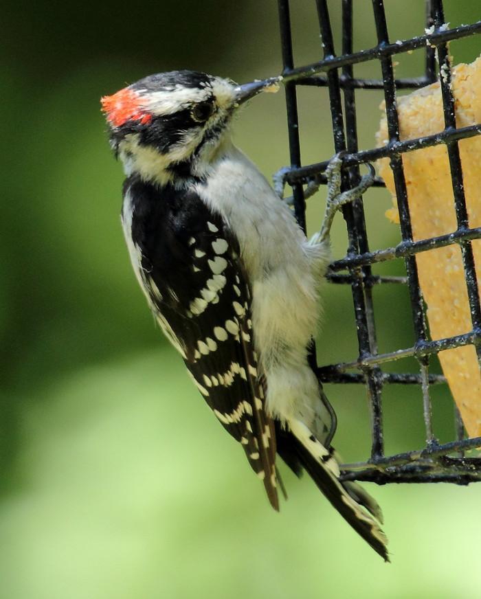 14. A Male Downy Woodpecker Trying For A Snack