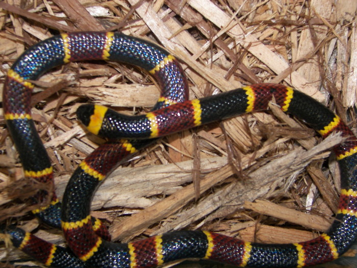 11. Coral Snakes
