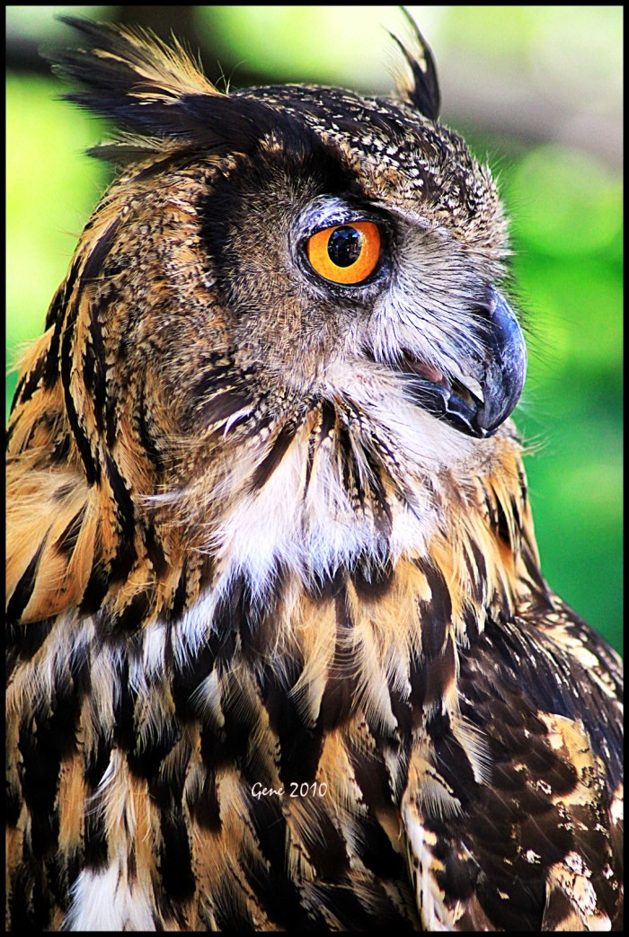 12. Eagle Owl, Williamsburg