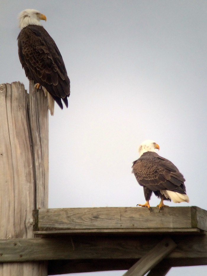 14. Eagles at Occoquan Bay National Wildlife Refuge in Prince William County
