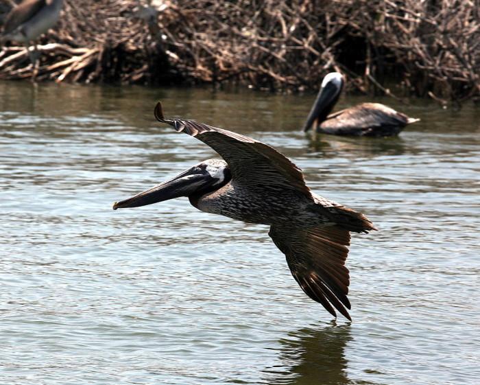 1) Pelican