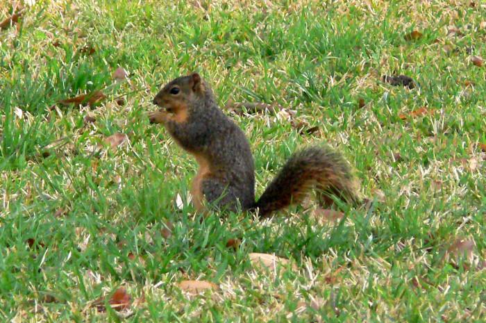 7. Fox Squirrel
