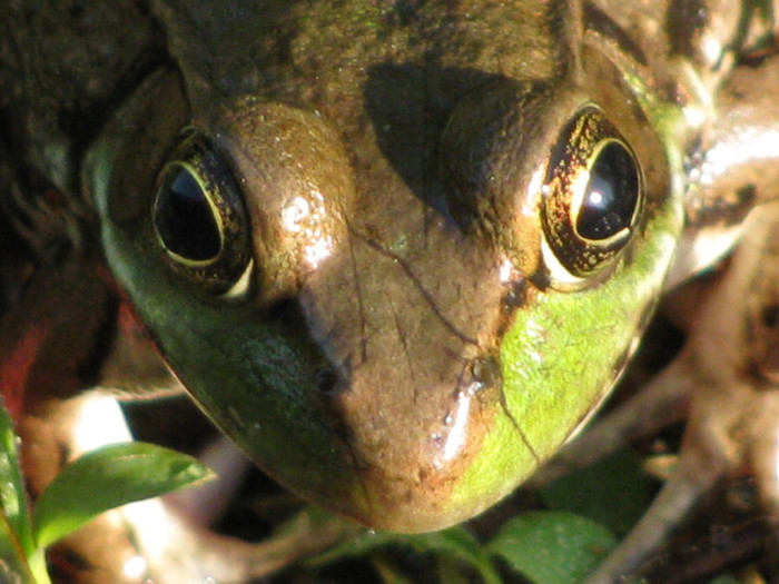 3. Frog Eyes at Huntley Meadows Park in Fairfax