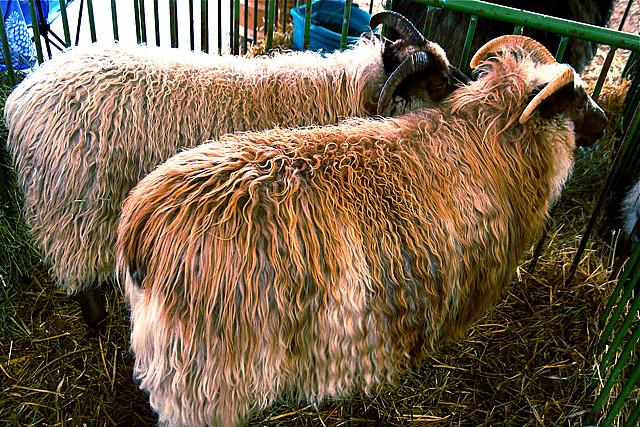 7) Goat Herder