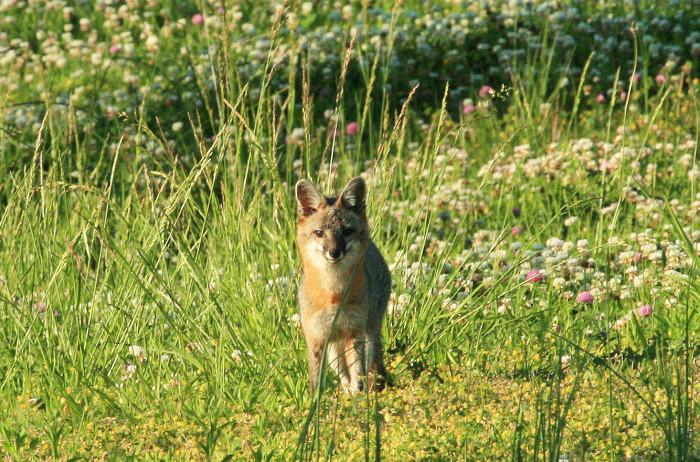 8. Gray Fox