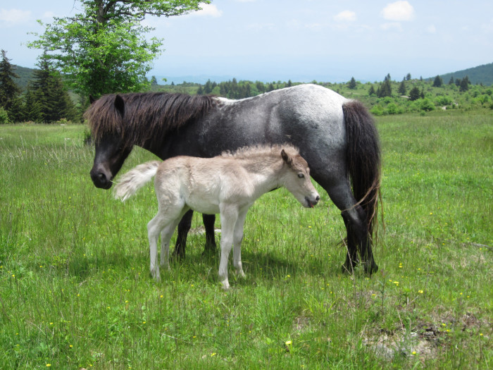 19. A Grayson Highlands State Park Wild Pony and Her Foal