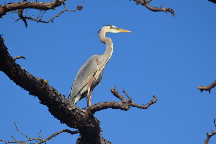 7. A  Great Blue Heron Looks Out From His Perch