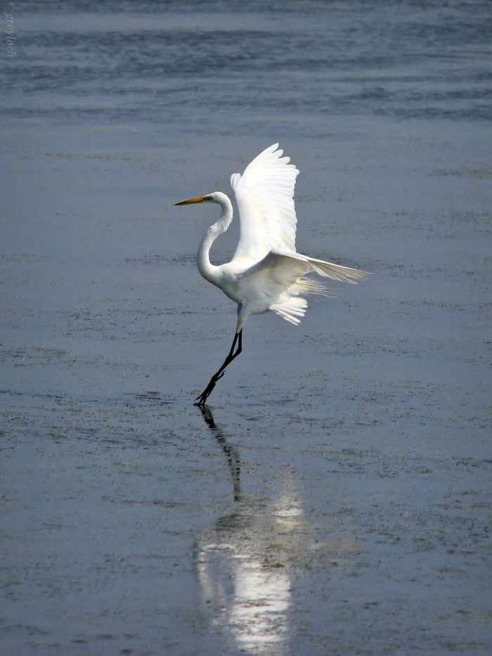 15. A Great Egret Landing On The Water At Assateague Island