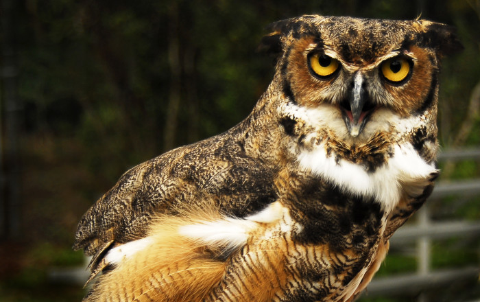 16. Great Horned Owl Looking None Too Pleased