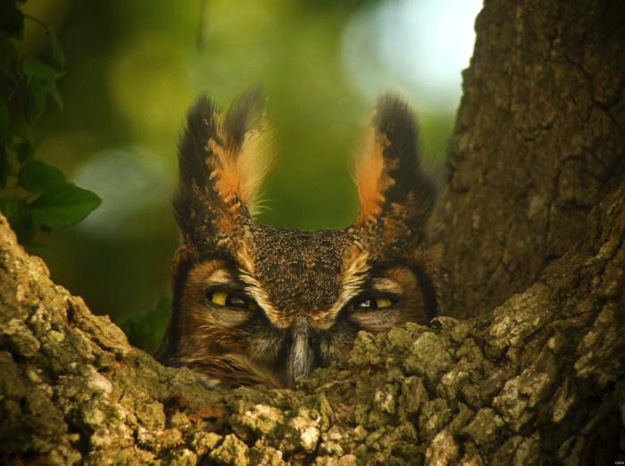 12) Great Horned Owl