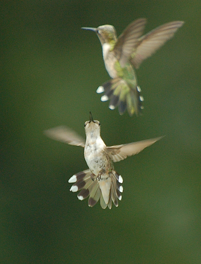 19. Ruby-Throated Hummingbirds In Flight At Caldeon State Park