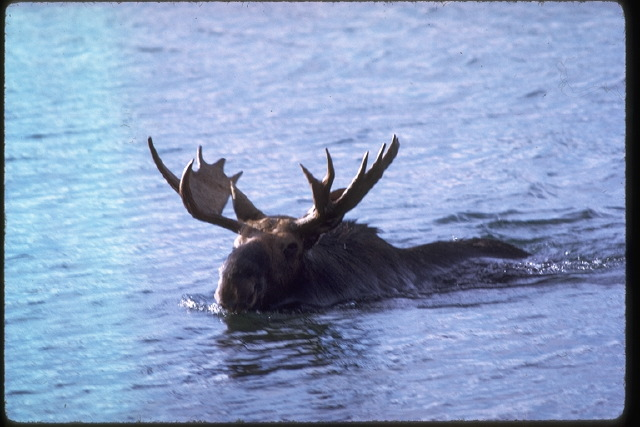 1) One of the largest moose herds in the United States is here in Michigan at the Isle Royal Park shelters.