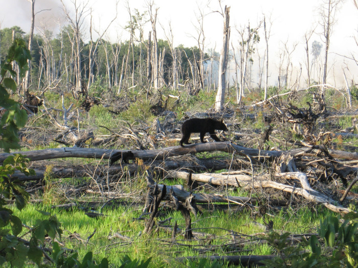 21. Mama Bear and Her Cub After the Lateral West Fire at the Great Dismal Swamp in Suffolk, 2011