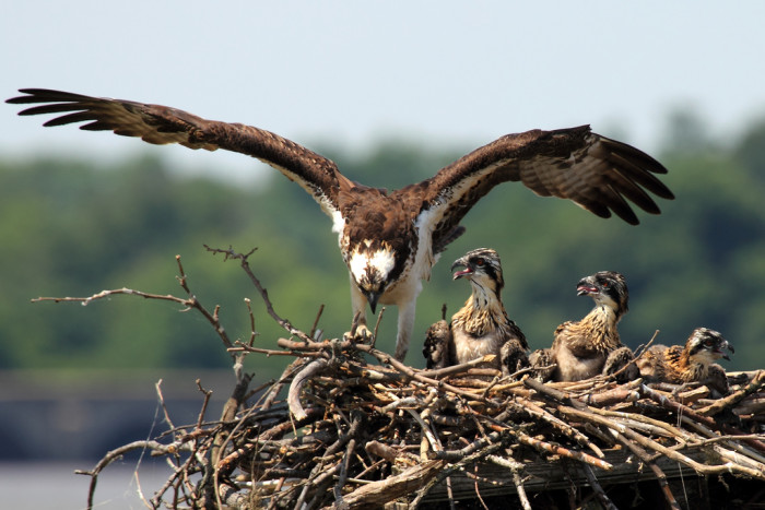 20. Mama Osprey And Her Chicks At Belle Haven