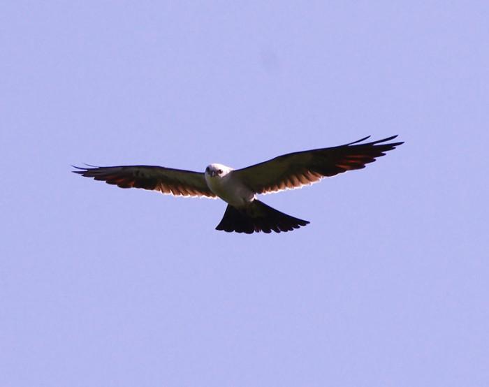 9. Mississippi Kite