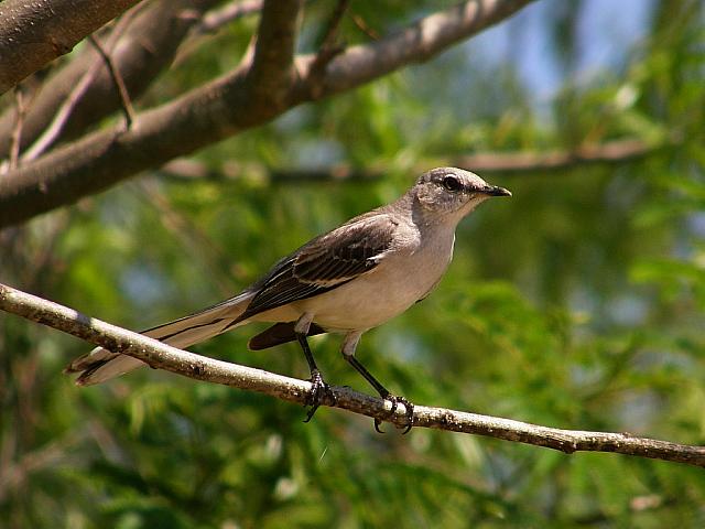 10. Mockingbird