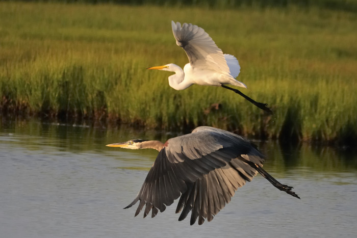 11. Great Egret & Great Blue Heron