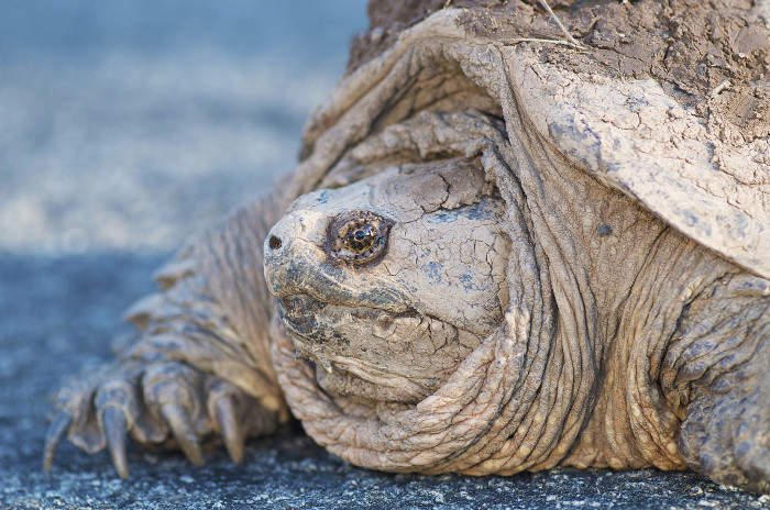 2. Snapping Turtle