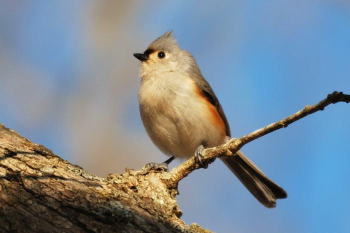 15. Tufted Titmouse