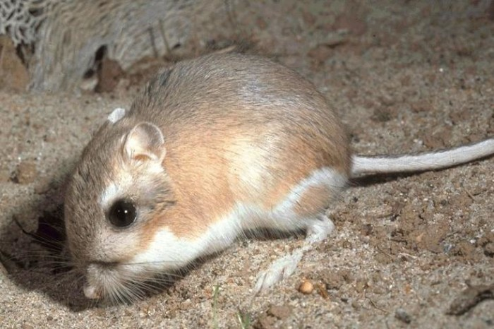 8. Kangaroo rats can live their entire lives in the Mojave Desert without water.