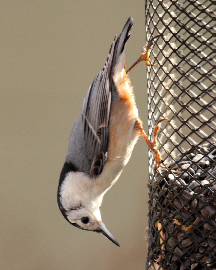 5. A White-Breasted Nuthatch Gets Creative At The Bird Feeder At Huntley Meadows Park in Fairfax