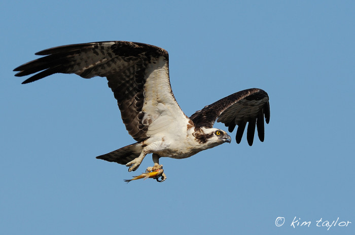 4.. Papa Osprey Bringing Home Dinner On The Potomac River