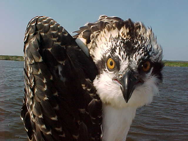 20. Osprey at Back Bay National Wildlife Refuge, Virginia Beach