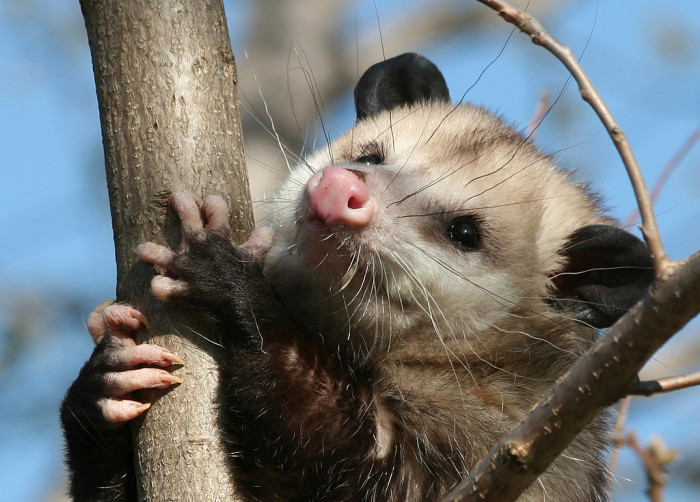 23. Virginia Opossum: This Could Almost Make Me Like 'Possums. Almost.