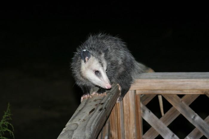 11. Opossum
