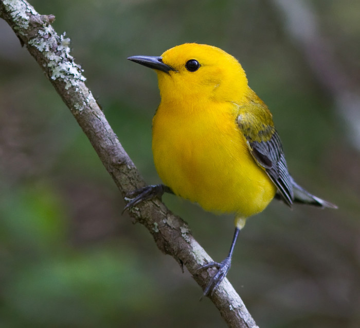 22. Prothonotary Warbler At The Great Dismal Swamp National Wildlife Refuge