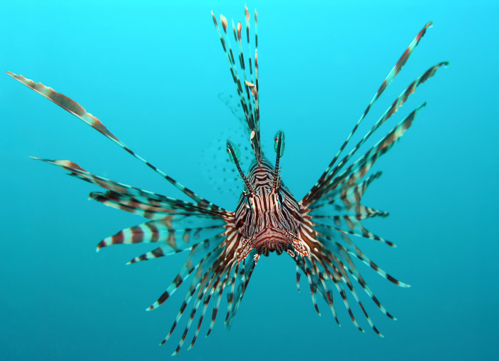 14. Lionfish