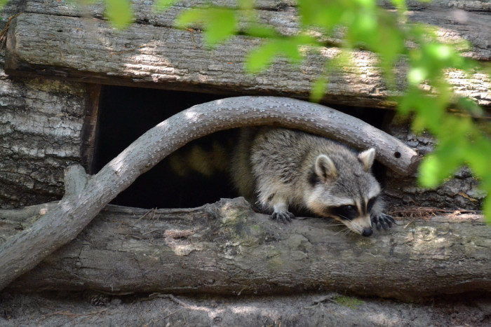 24. A Raccoon Peeking Out of His Den in Newport News