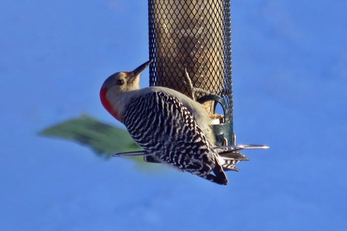24. Red-Bellied Woodpecker At The Feeder In Arlington