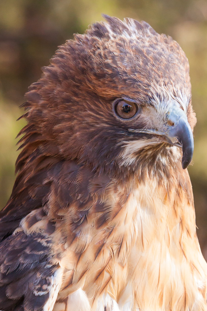 3. Red-Tailed Hawk
