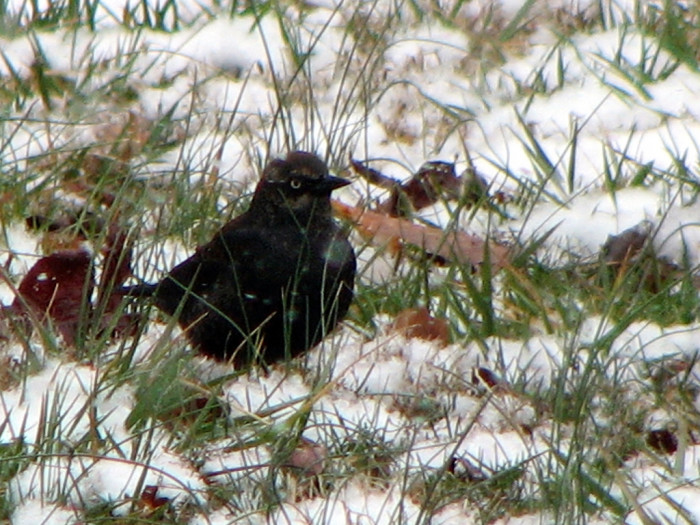 4) The sweetest blackbird in the snow.