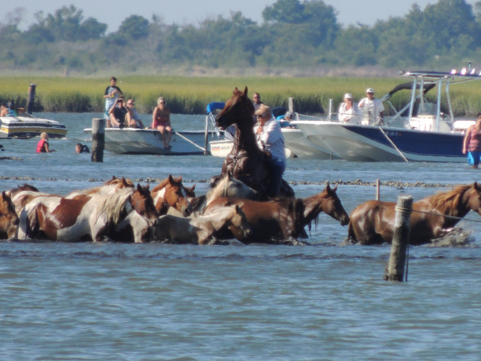 29. A Saltwater Cowboy Oversees the Swim from Assateague to Chincoteague Island