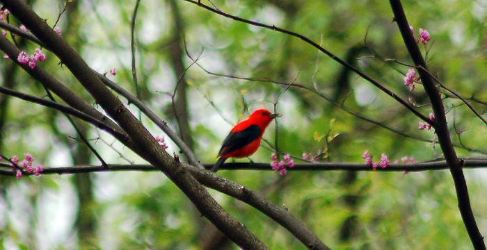 26 This Scarlet Tanager Looks Like He Was Painted Into The Scene