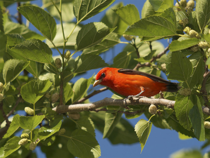6) More than one-half of the species of birds in North America are residents of Louisiana or spend a portion of their migration here.