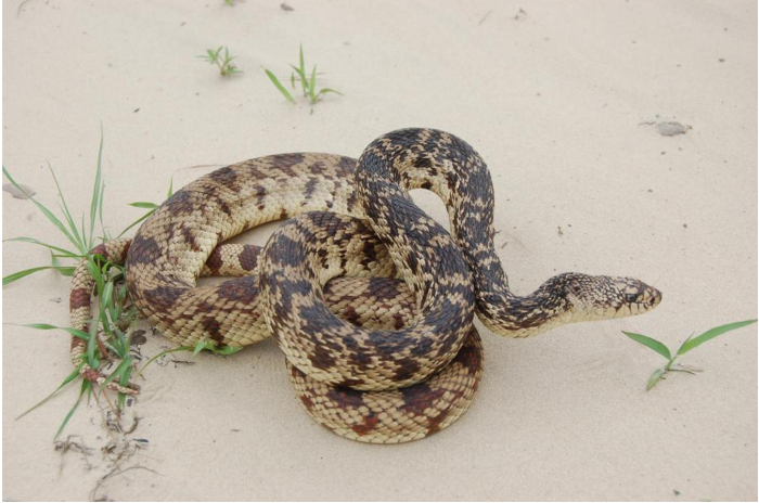 9) Louisiana Pine Snake