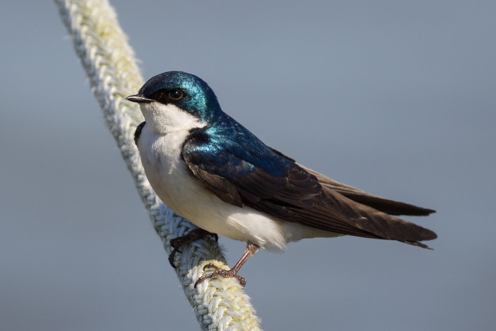 1. A Tree Swallow At Belle Haven Marina In Alexandria