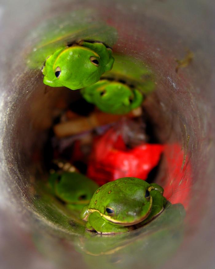 12. Tree Frogs