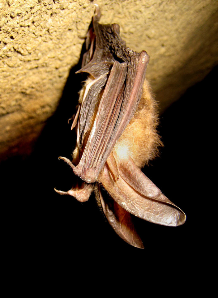 2. The State Bat of Virginia: The Virginia Big-Eared Bat