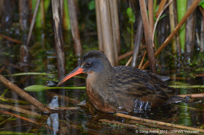 30. A Virginia Rail Camouflaged In The Marsh At Great Meadows National Wildlife Refuge